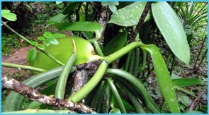 Vanilla-plant-in-coorg
